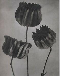 1942 ORIGINAL PRINT PHOTO GRAVURE plate 64 KARL BLOSSFELDT ABSTRACT BOTANICAL