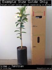 Lime - Tahitian (Citrus latifolia) Fruit Tree Plant
