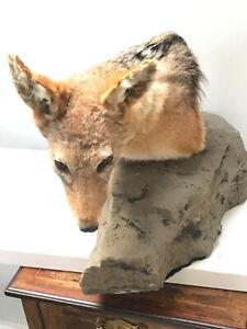 Taxidermy  mounted black backed jackal head shoulder mount on rock plinth