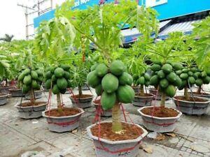 50+ Dwarf Thai Papaya Seeds~Fresh organic seeds. 9 months from seeds. Tracking#