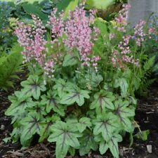 """heucherella Pink Fizz pastel tiarella coral bells 2.5"""" pot = 1 Live Potted Plant"""