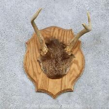 #13951 N | Whitetail Deer Antler Plaque Taxidermy Mount For Sale