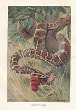 c1914 NATURAL HISTORY PRINT ~ INDIAN PYTHON WITH KILL ~ LYDEKKER