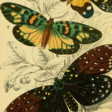 BUTTERFLIES - Old Books - P. Cramer - F. Moore - COLOR PLATES - 2 DVD's