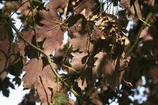 ACER PSEUDOPLATANUS cv PURPUREUM 15 Semi 15 Seeds