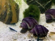 10 Purple Mystery Snail Beautiful Young Snails aquarium Fish / Tank / Guppy