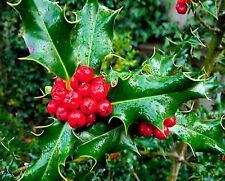 1 PLANT ILEX AQUIFOLIUM agrifoglio European Holly plant tree