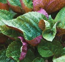 FR088 Shiso Britton x100 seeds