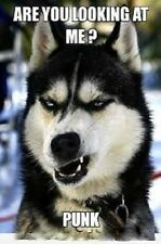 "Funny Siberian Husky  refrigerator magnet 2 1/2x 3 1/2"""