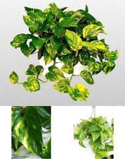 """Golden Devil's Ivy Plant Epipremnum Pothos 6""""Hanging Pot Easy to Grow Indoor NEW"""