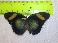 TOG16 A+/ A  Euphaedra  Forester Papilio