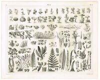 ORIGINAL ANTIQUE PRINT VINTAGE 1851 ENGRAVING BOTANY ALGAE FUNGI NON FLOWERING b