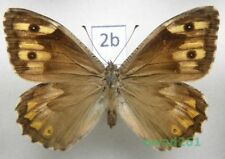Hipparchia semele (Linnaeus, 1758) female2b NICE!!!