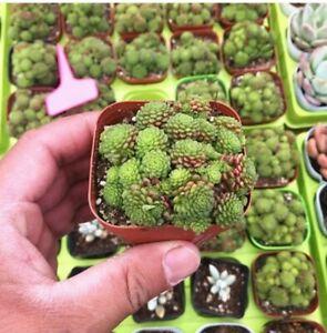 Monanthes Polyphylla Bonsai Plants Flowers Indoor Home Garden Indoor 100 Seeds