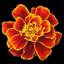 SCARLET SOPHIA Marigold Tagetes French flowers plants - 6-cell seedling punnet