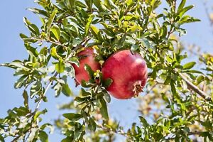 """4 x """"Pomegranate"""" cuttings From CYPRUS Island"""