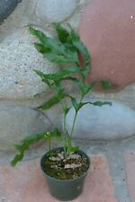 """New listing Rare Lecanopteris Lomarioides Ant-Fern In 4"""" Pot Us Grown"""