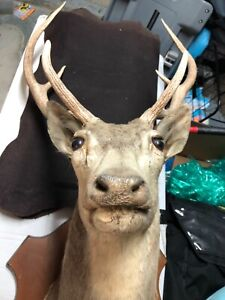 Axis Deer Shoulder Taxidermy Mount and Hide Mount Combo