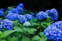 Blue Hydrangea Flowering Plants Photo Art Print Poster 24x36 inch