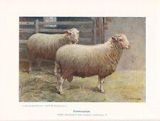 Frankenschafe Frankenschaf Schafrassen FARBDRUCK von 1925 Reprint