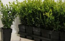 18X BUSHY BUXUS BOX HEDGING PLANTS - EVERGREEN - HIGH QUALITY - P9 POTTED