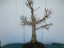 Bonsai tree Trident maple pre-bonsai (Acer buergerianum) 10 years old