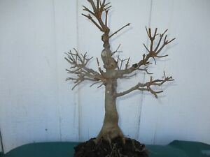Bonsai tree Trident maple pre-bonsai (Acer buergerianum) 10 years old