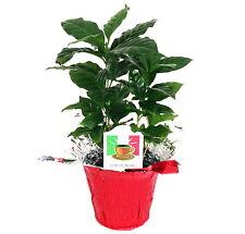 "Hirt's Arabica Coffee Bean Plant - 3.5"" pot with Decorative Pot Cover"