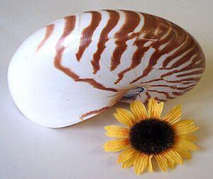 Nautilus Pompilus, natur 10 cm -12 cm