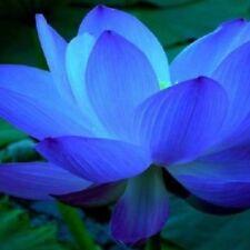 10 x Blue Lotus Seeds Nelumbo Nucifera Blue Water Lily RARE EXOTIC