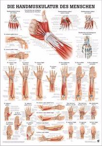 NEU Lehrtafel,Poster: Handmuskulatur laminiert