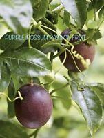 """LARGE 24"""" - 36"""" Long, Purple Passion Fruit Vine / Tree, Rooted, Purple Possum"""