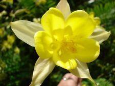Aquilegia 'Yellow Queen'  150+ seeds *END OF SEASON DEAL* - Hardy Perennial
