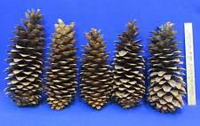 "Sugar Pine Cones Lot of 5 Natural Conifer Tree Large 10 - 14"" Long"