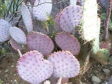 ARIZONA - PURPLE, PRICKLY PEAR CACTUS PAD - LIVE PLANT !