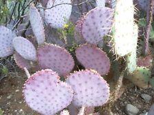 ARIZONA - PURPLE, PRICKLY PEAR CACTUS PAD - LIVE PLANT !