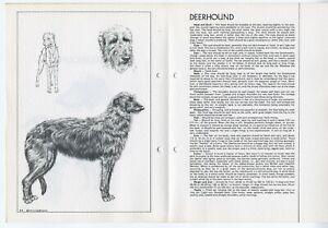 SCOTTISH DEERHOUND 1978 BREED STANDARD SKETCH PRINT ARTIST M DAVIDSON