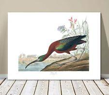 "FAMOUS SEA BIRD ART ~ CANVAS PRINT  16x12"" ~ JOHN AUDUBON ~ Glossy Ibis"