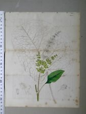 English Botany, Smith, Sowerby, handcoloured copperplate, 524*, 3.Edition,1850.