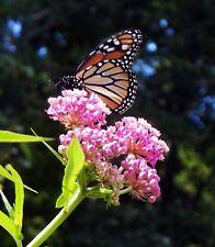 PLANT~Asclepias incarnata Swamp Milkweed~TRADE GALLON
