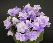 N-Serebrianiy Dim Blatt/ leaf African Violet Usambaraveilchen