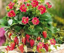 30pcs Red Strawberry Bush Strawberry Fruit Plant Seeds Delicious Fruit Seeds