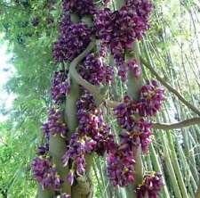 Mucuna sempervirens (Syn: mairei/japonica), Seabean seeds, Velvet Bean
