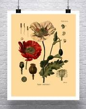 Opium Poppy Vintage Botanical Illustration Rolled Canvas Giclee Print 17x22 in.