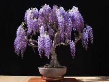Wisteria Tree Bonsai 5 Rare Viable Seeds Beautiful Purple Flowers perennial Tree