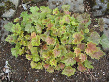 50 HEUCHERA AMERICANA CORAL BELLS Dale's Strain American Alumroot Flower Seeds