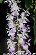 Orchid specie seeds: Aerides falcata - Year 2018