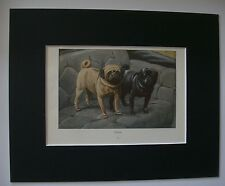 Pugs Dog Print Louis Fuertes Colored Bookplate 1919 Matted 8x10