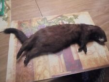 One 4 Taxidermist Only To Buy 4 Mounting A Nice Monster Adirondack Mt Male Mink