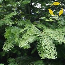 GRAND FIR Abies Grandis - 20+ SEEDS